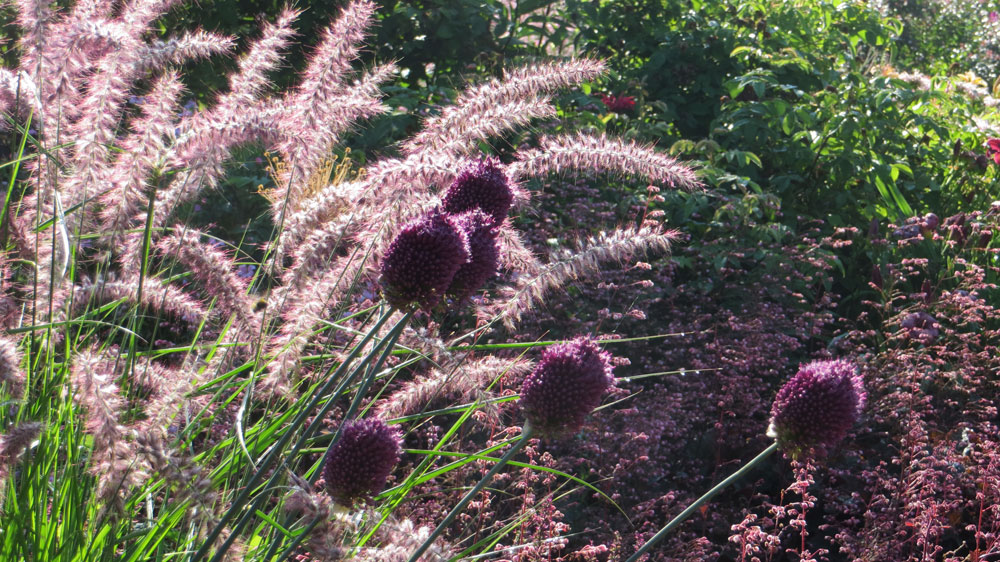 Pennisetum and Allium at Viller the Garden