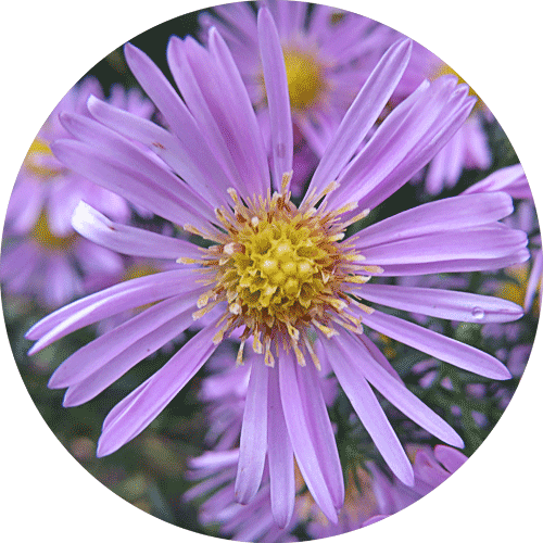 Asters Are Beautiful Versatile Perennials With Starry Shaped Flowers
