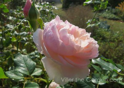 rosa-heritage