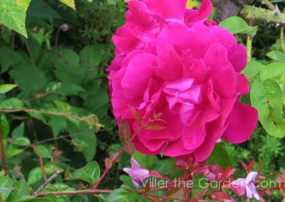 rosa-mrs-anthony-waterer