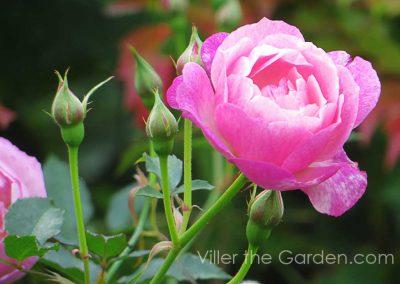 rosa-sophies-perpetual